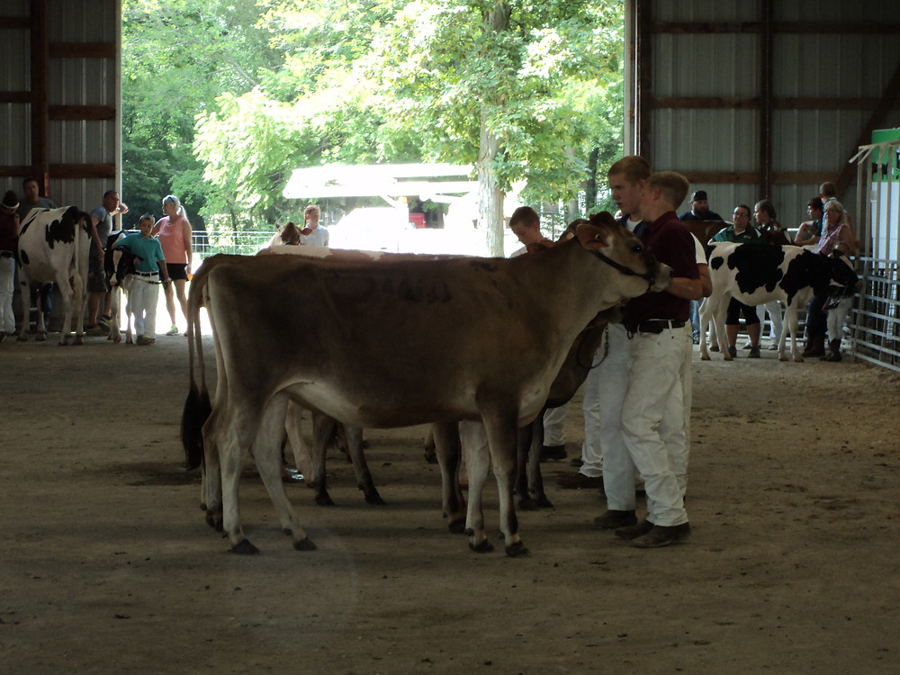 A view of the Livingston County Fair dairy show Wednesday morning / CIFN photo.