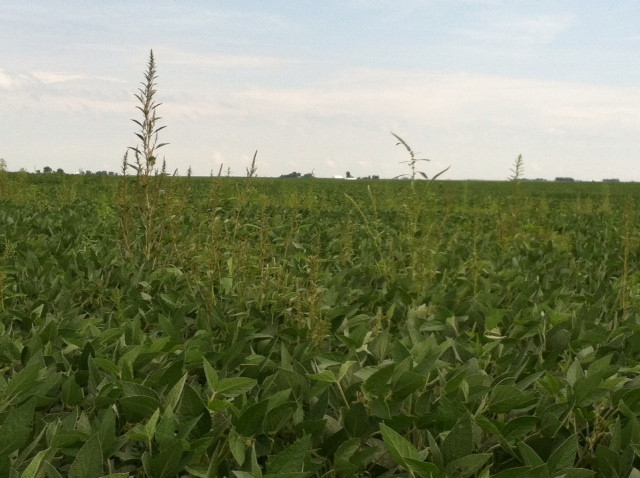 Weeds are shown in an area bean field during a previous season / CIFN file photo