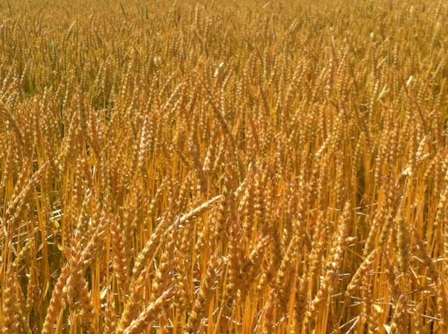 A wheat field is shown last week in Livingston County / CIFN photo