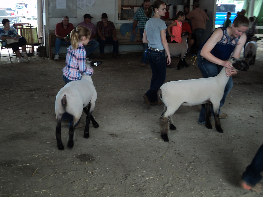 The sheep show at this week's Iroquois County Fair near Crescent City / CIFN photo.