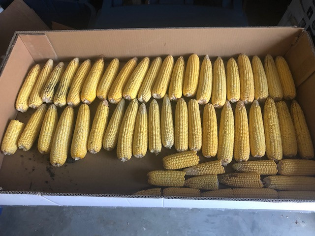 Corn is shown after a local crop tour in McLean County this month / courtesy of Tom Kahle.