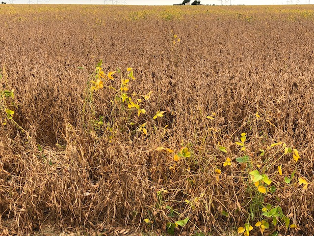 Soybeans turning in Livingston County this week / CIFN photo.