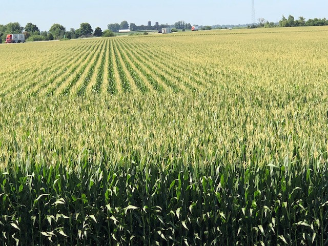 A Livingston County cornfield is shown south of Pontiac Wednesday morning / CIFN photo.