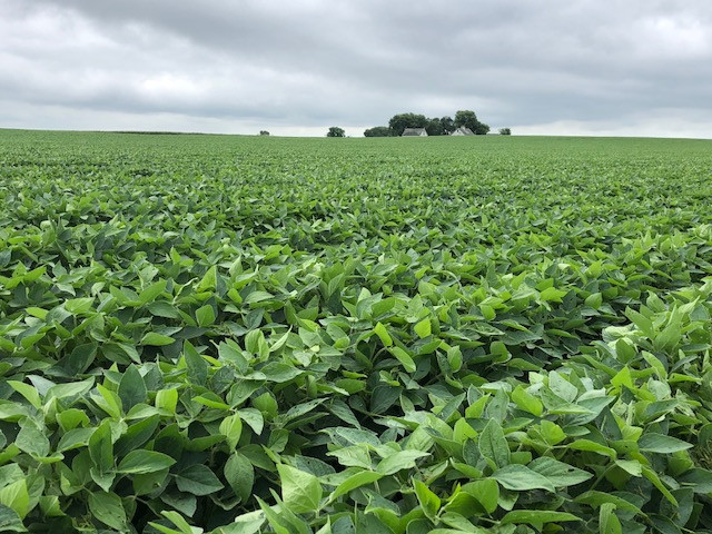 Soybeans are shown north of Pontiac in Livingston County on Monday / CIFN photo.