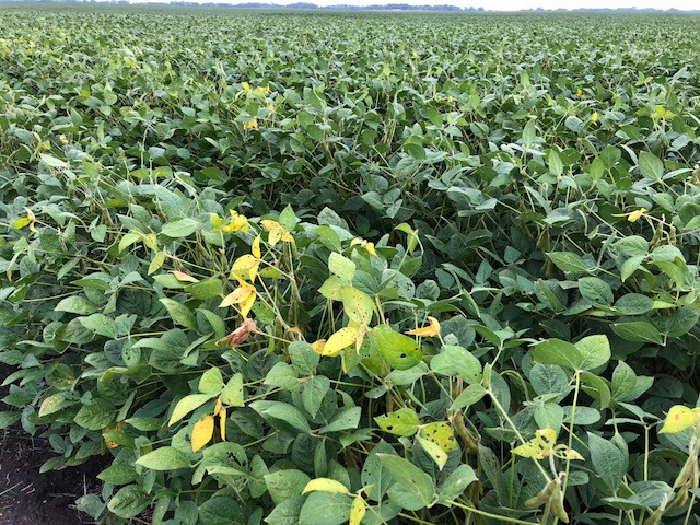 A soybean field is shown in Livingston County Monday afternoon / CIFN photo.