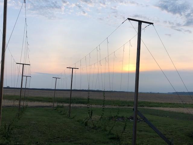 The hops at Emancipation Brewing northeast of Fairbury / CIFN photo.