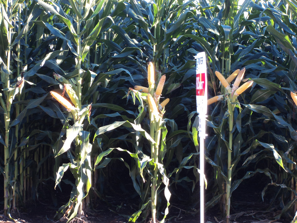 A corn plot is shown south of Weston in McLean County / CIFN photo.