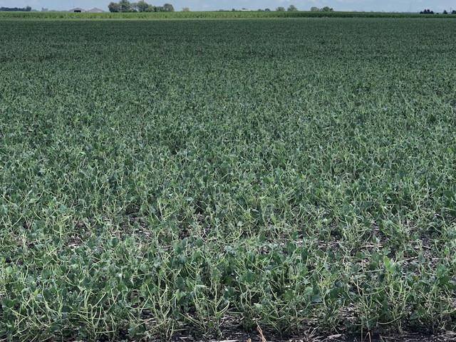 Hail-damaged soybeans shown last week in Livingston County / CIFN photo.