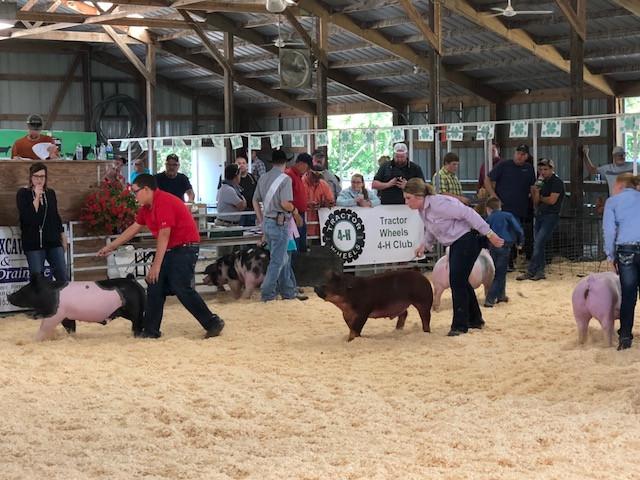 The Livingston County Fair swine show Thursday morning / CIFN photo.