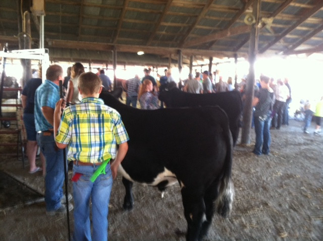 Friday's beef cattle show at the Fisher Fair / CIFN photo