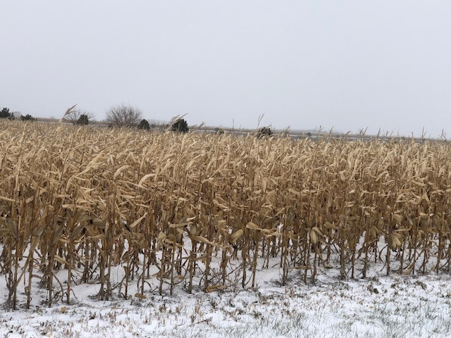 Snow falls on standing corn in Livingston County Monday afternoon / CIFN photo.
