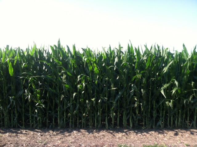A McLean County cornfield is shown last week / CIFN photo.