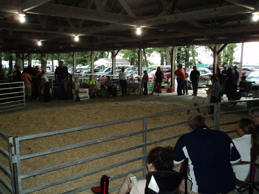 The sheep show at this week's Livingston County Ag Fair / CIFN photo.