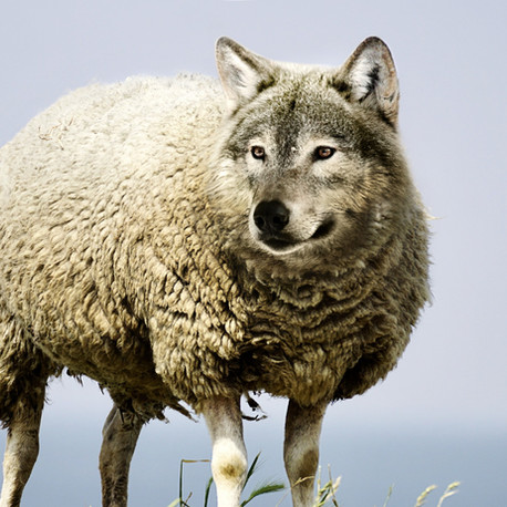How to Spot a Wolf