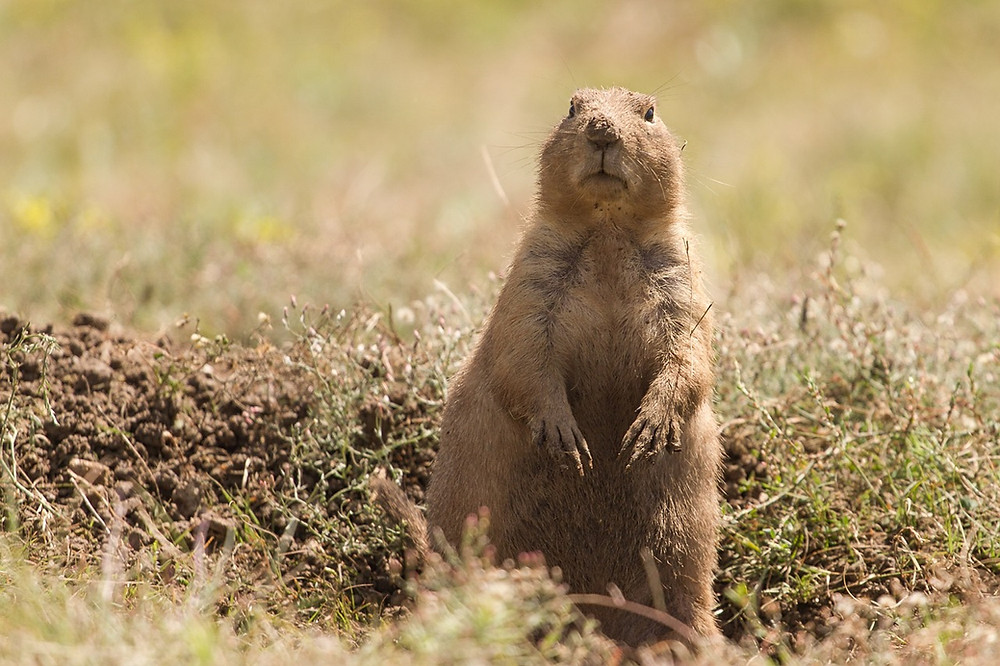 Prairie dogs perform a variety of ecosystem services, including creating habitat, enriching soil, promoting biodiversity, and contributing to the food chain.