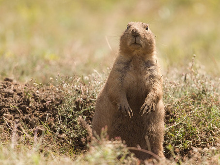 Prairie Dogs- A Keystone Species Worth Fighting For!