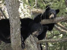 The Curious Life of Hibernating Black Bears