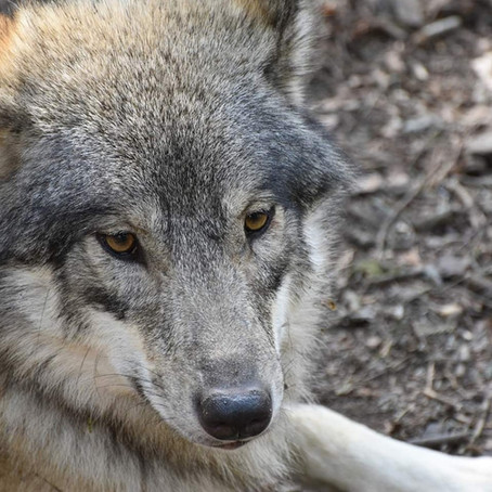 Wolves: A Violent Past and a Promising Future for a Vital Keystone Species
