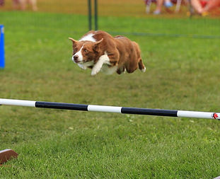 Dog Doing Agility