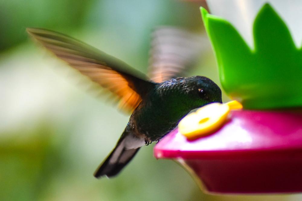hummingbird in Monterverde