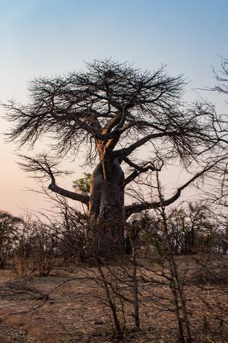zimbabwe baobab.jpg