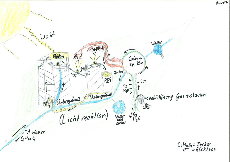 Benedikt Photosynthese.jpg