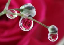 スプレー薔薇の雫