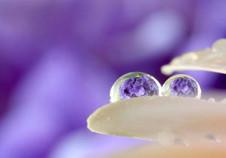 紫陽花の雫