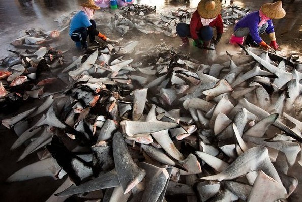 國泰宣佈立即禁止運送魚翅