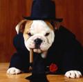 600_Bulldog-boss-dog-wallpaper-1024x768.