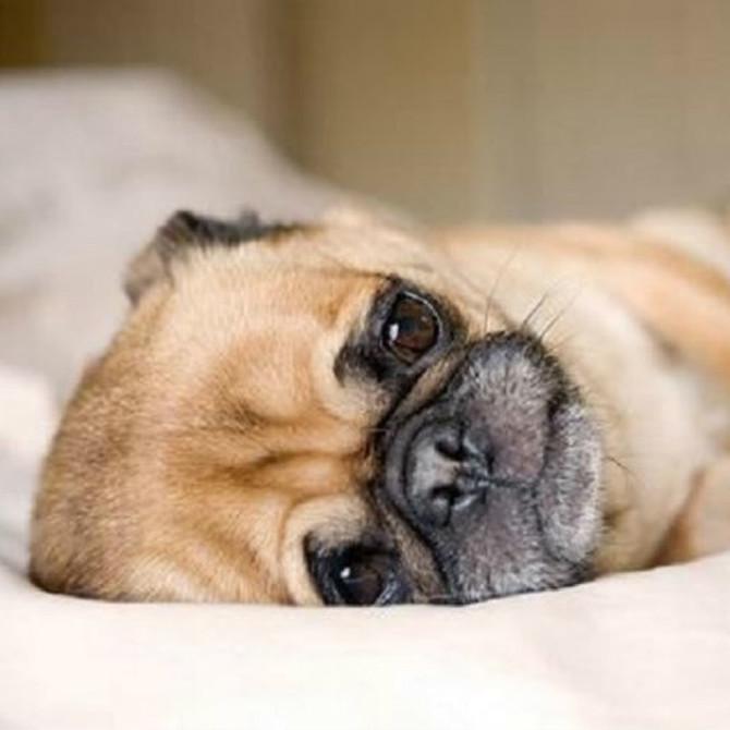 7個狗狗感到痛楚時的表現