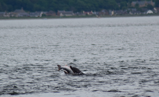 Dolphin at Chanonry Point (8736)