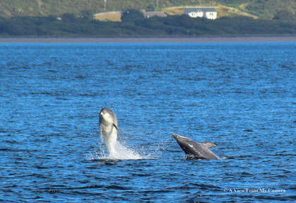 Dolphins - Chanonry Point - (0391)