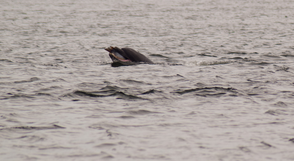 Dolphin at Chanonry Point (8793)