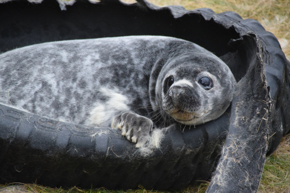 Moulting Grey Seal Pup, Sarclet, Caithness (5832)