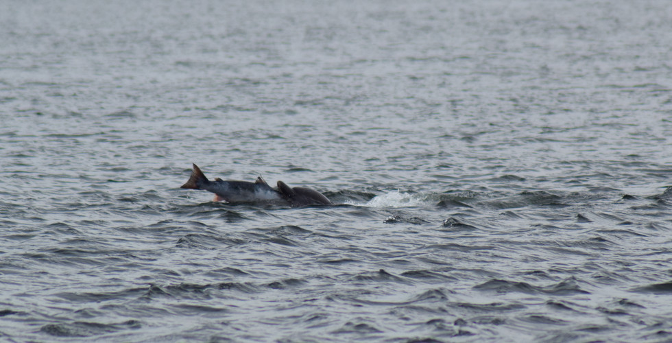 Dolphin at Chanonry Point (8757)