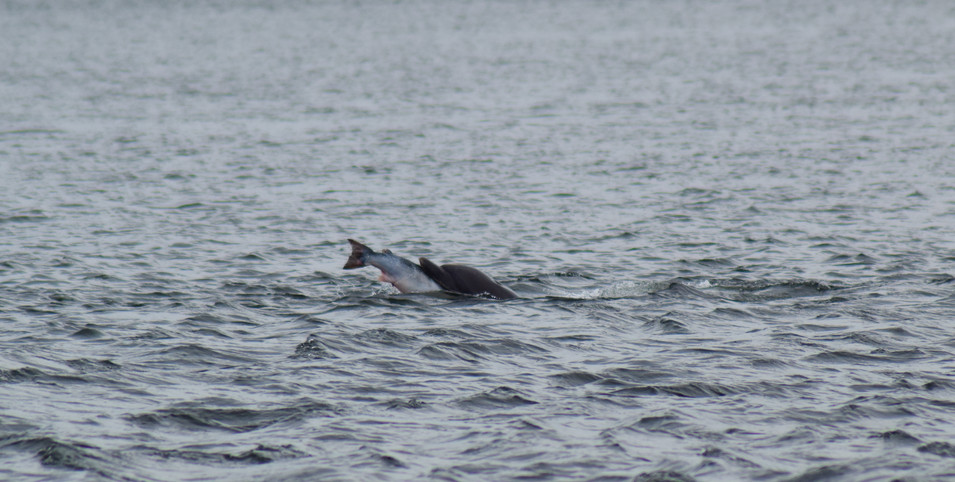 Dolphin at Chanonry Point (8756)