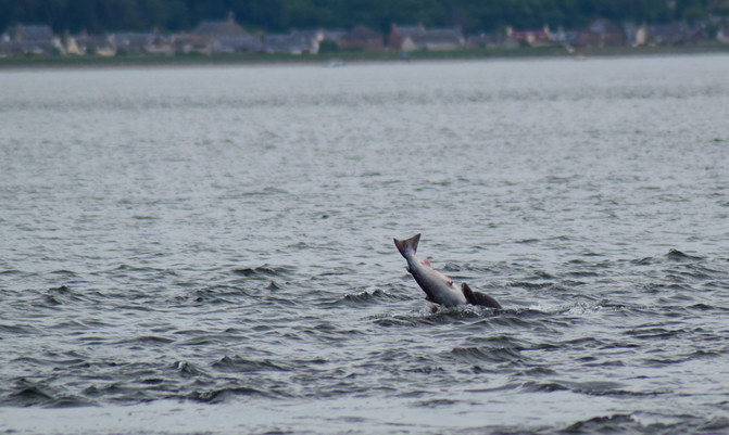 Dolphin at Chanonry Point (8737)