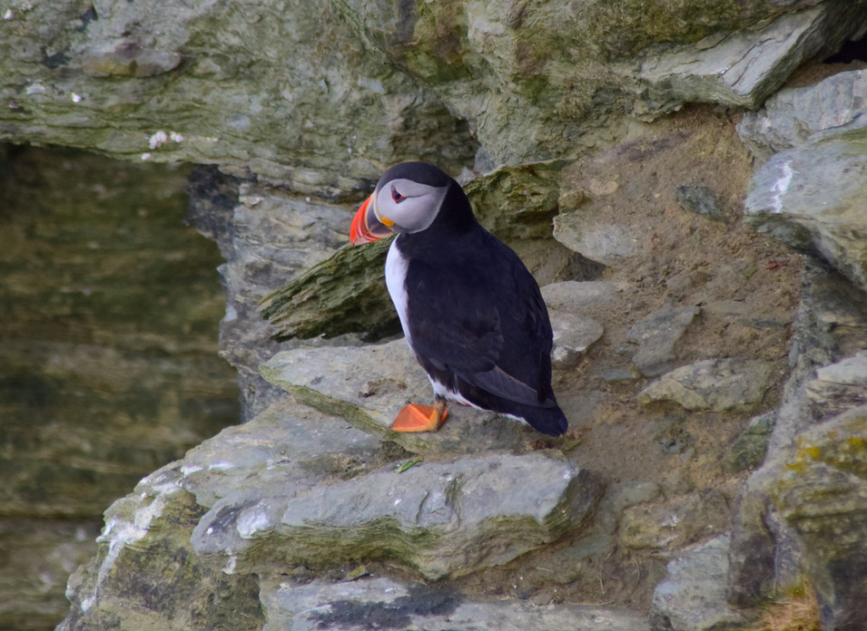 Puffin on Brough of Birsay, Orkney (7185)