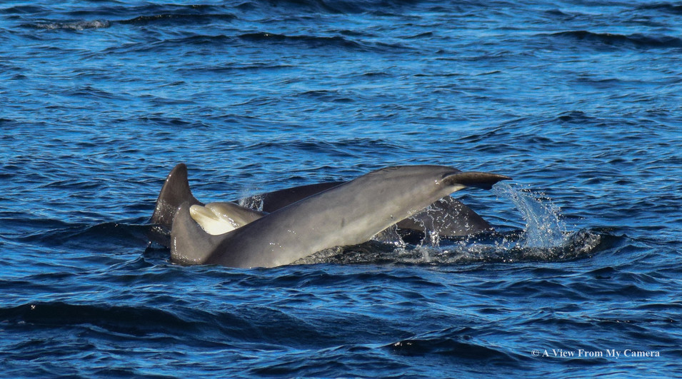 Dolphins - Chanonry Point (0703)