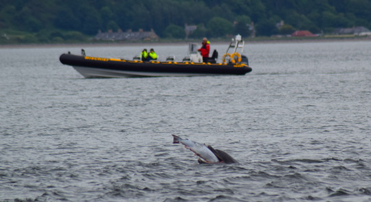 Dolphin at Chanonry Point (8778)