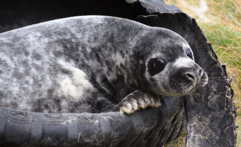 Moulting Grey Seal Pup, Sarclet, Caithness (5846)