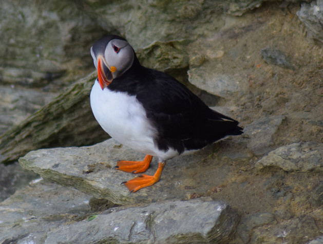 Puffin on Brough of Birsay, Orkney (7222)