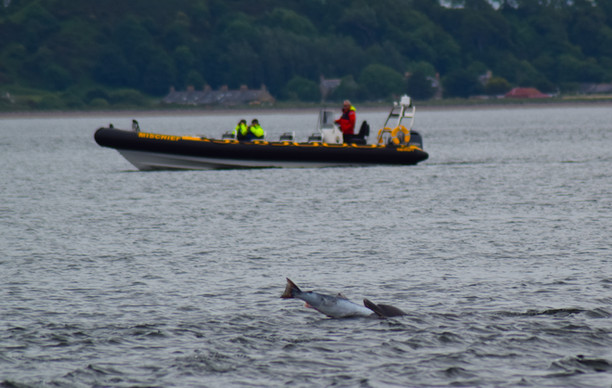 Dolphin at Chanonry Point (8779)