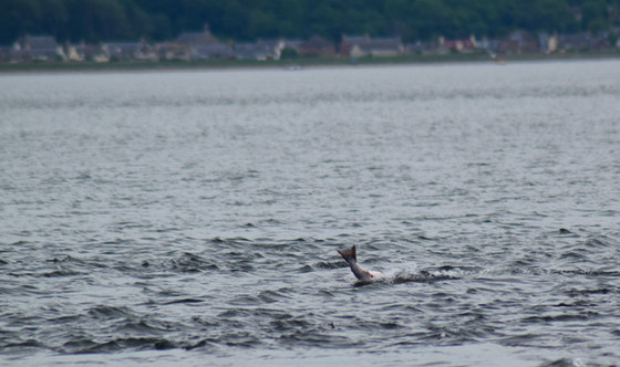 Dolphin at Chanonry Point (8738)