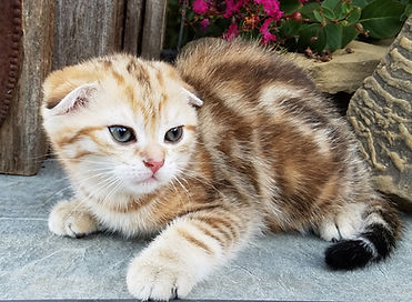 Black/Brown Tabby and White - Scottish Fold