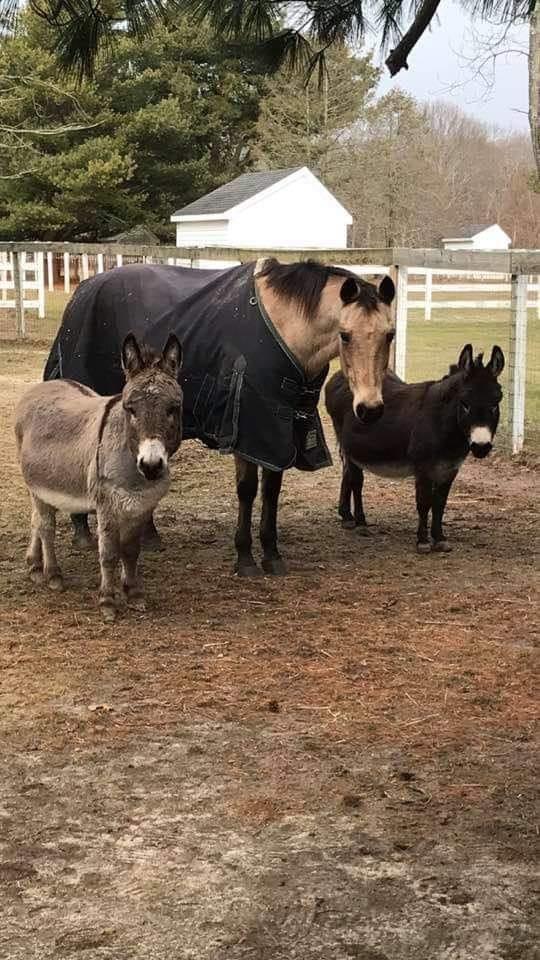 horse and 2 donkeys
