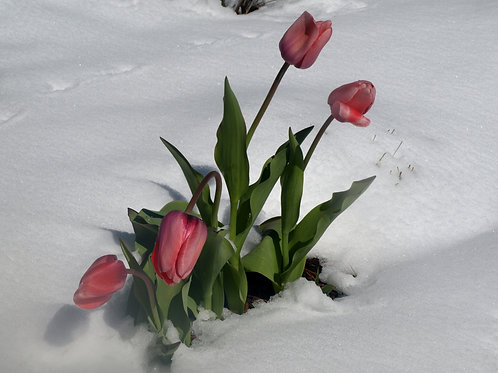 Lake Tahoe tulips in the snow
