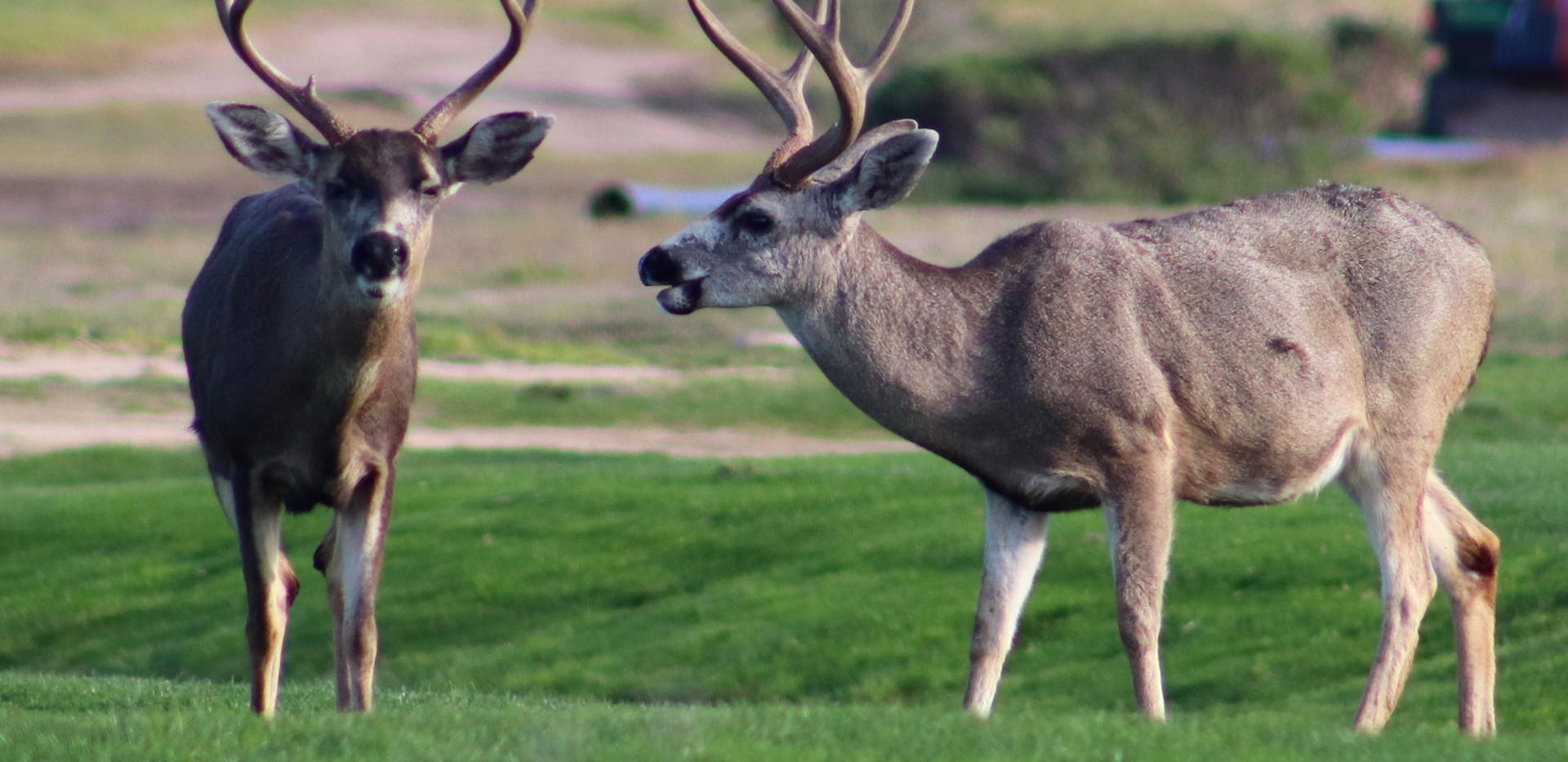 Pebble Beach deer
