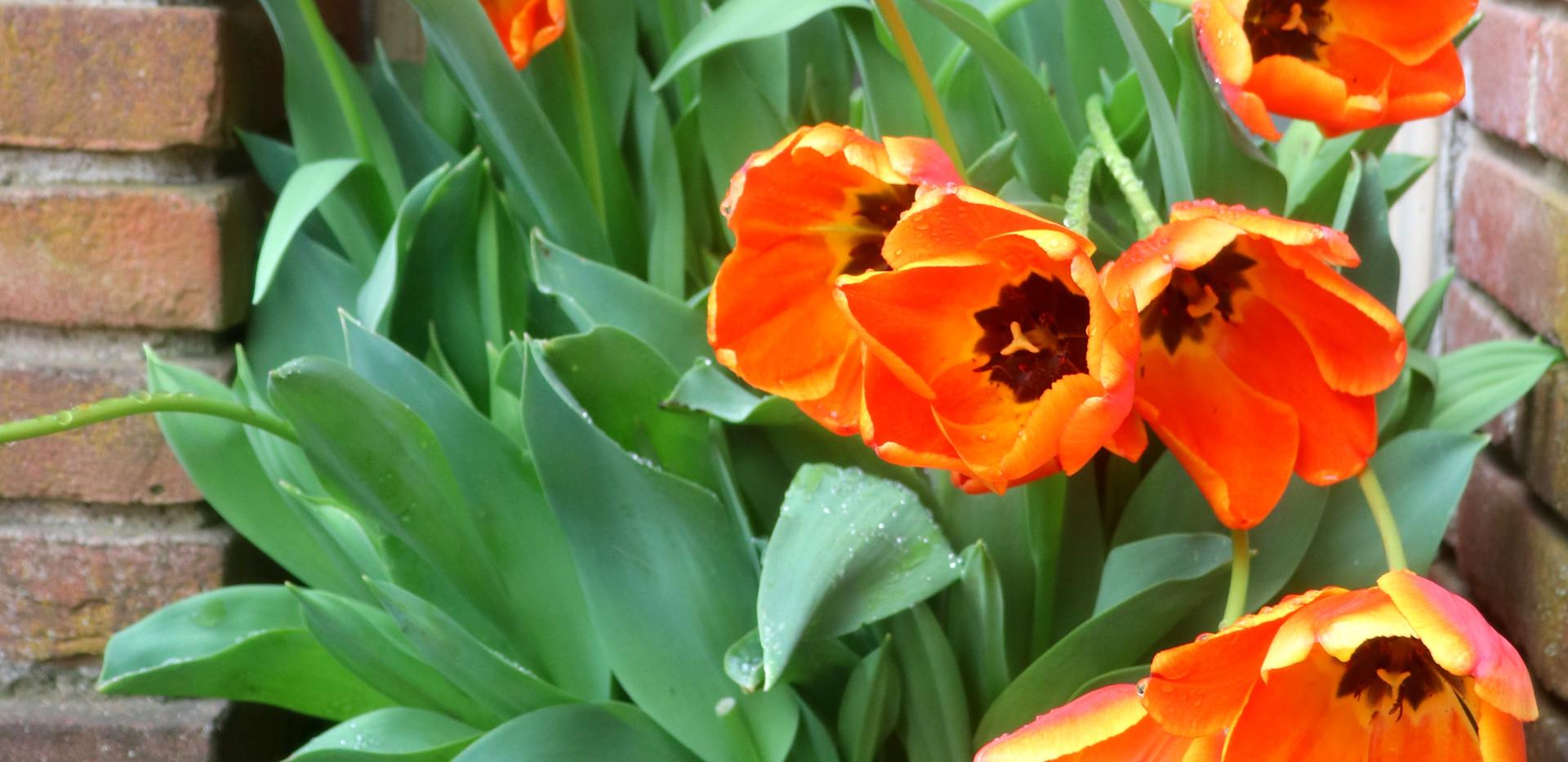 Filoli orange tulips